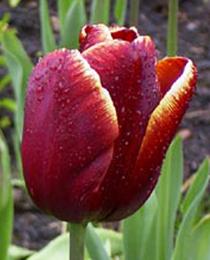 Тюльпан Абу Хасан 500 цибулин
