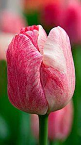 Тюльпан Hemisphere