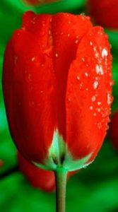 Тюльпан Red Paradiso