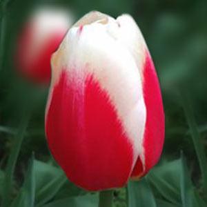 Тюльпани від 25 шт каталог цибулинних Осінь