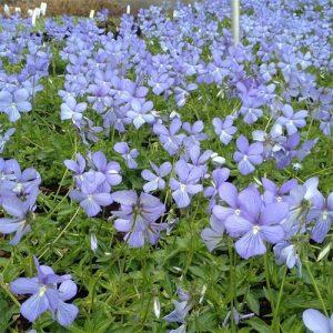 Виола Бутон Блу (Boughton Blue)