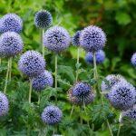 Выращивание и уход за мордовником в саду