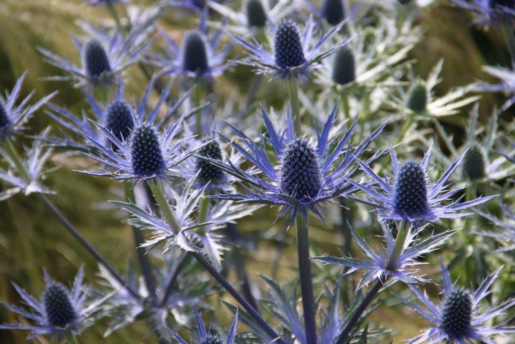 Выращивание и уход за синеголовником в саду